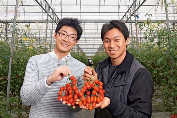 微噴灌溉省水40%, 讓番茄變好吃