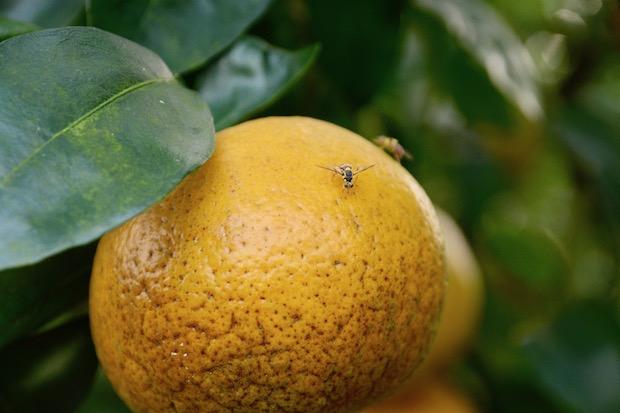 暖冬殃及茂谷柑 蟲害肆虐、爛果滿地