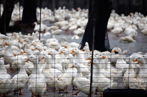 年年上演大撲殺  台灣禽流感為何愈來愈凶猛?