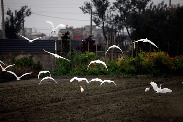 高達三成雞接觸過禽流感   政府農民趕緊補破網