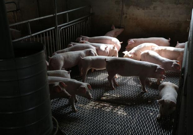 瘦肉精防堵漏洞多!國人早受毒害