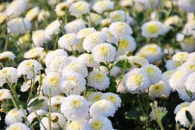 苗栗下雪了!雪白杭菊花浪漫盛開中