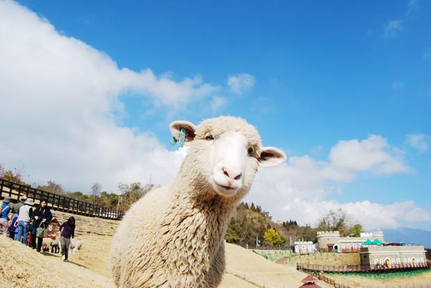 清境農場,綿羊與金色草原的浪漫魅力