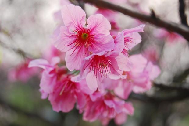 讓人著迷的粉紅魅力!陽明山櫻花盛開