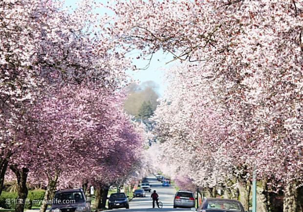 溫哥華春天必訪!綿延1.5公里的李花巷