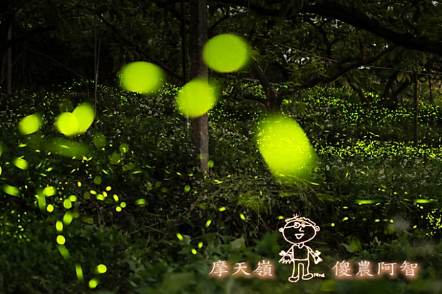 螢火蟲給的認證!聆聽夜晚果園裡大自然的交響樂
