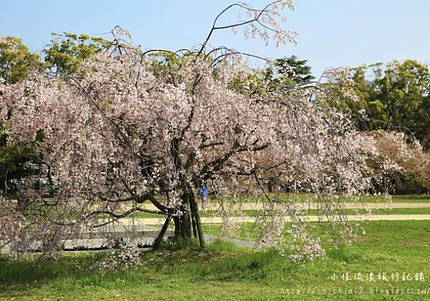 愛在櫻花綻放時!造訪日本舞鶴公園,福岡賞櫻勝地
