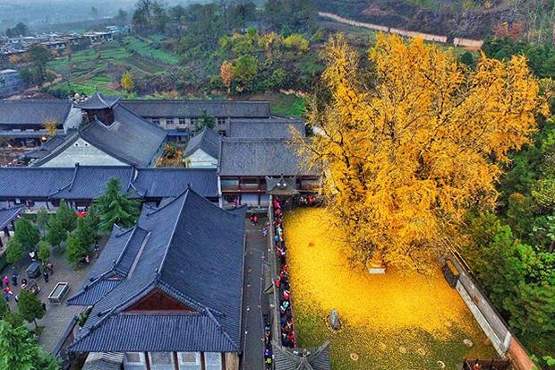 千年古銀杏樹落英遍地,交織金黃絕美大地織品