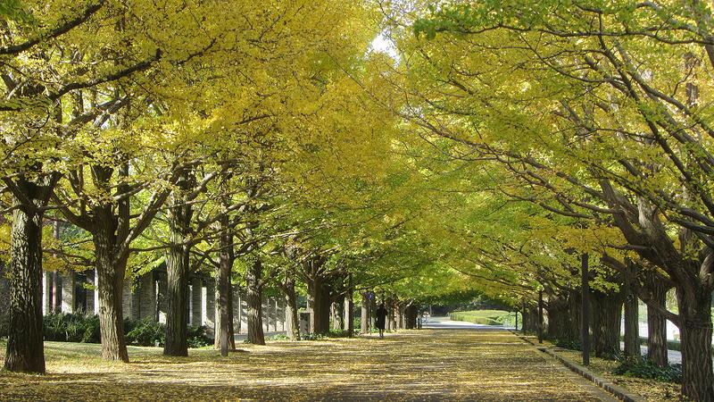 東京最美的銀杏大道