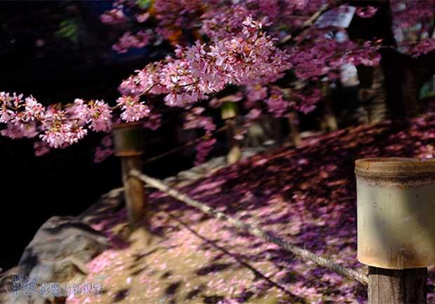 早開櫻花的振奮!日本長德寺外落英繽紛