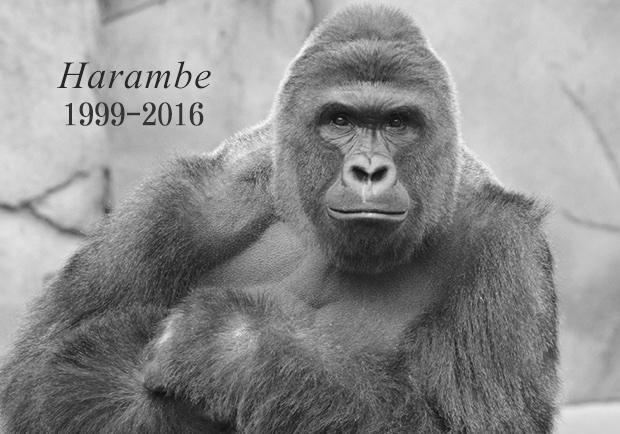 動物性命不值錢?猩猩哈洛比帶給人類的省思