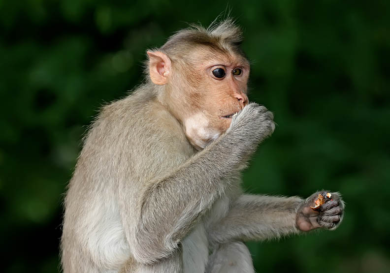 研究:iPS细胞移植可改善猴子帕金森症状