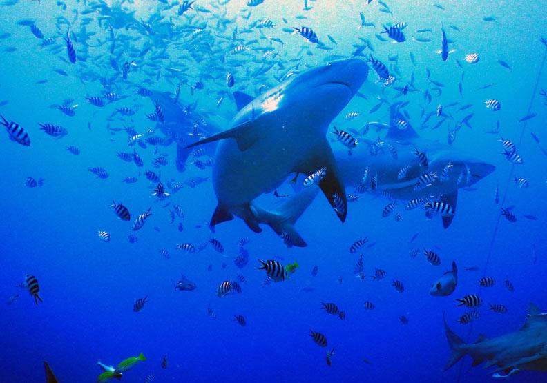 鯊魚其實很膽小!潛水遇到不用怕