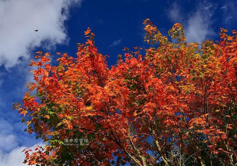 阿里山「楓紅」  天空地面都被染成一片艷