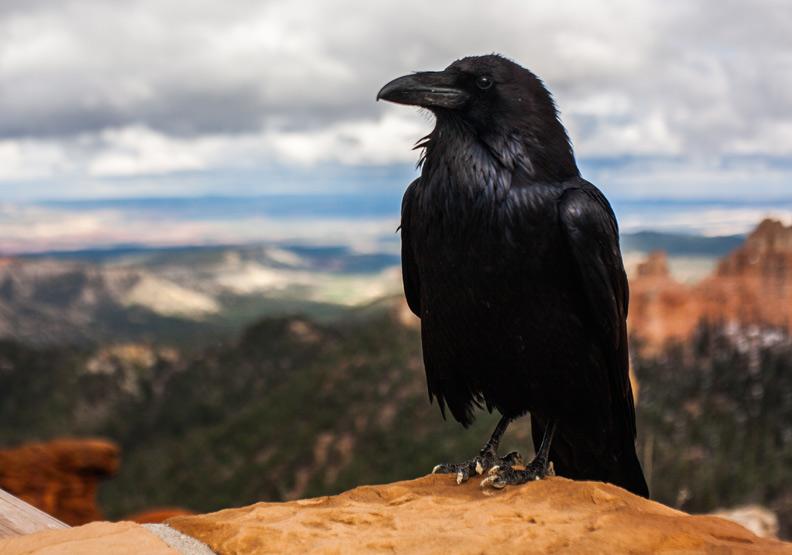 你不知道烏鴉有多聰明