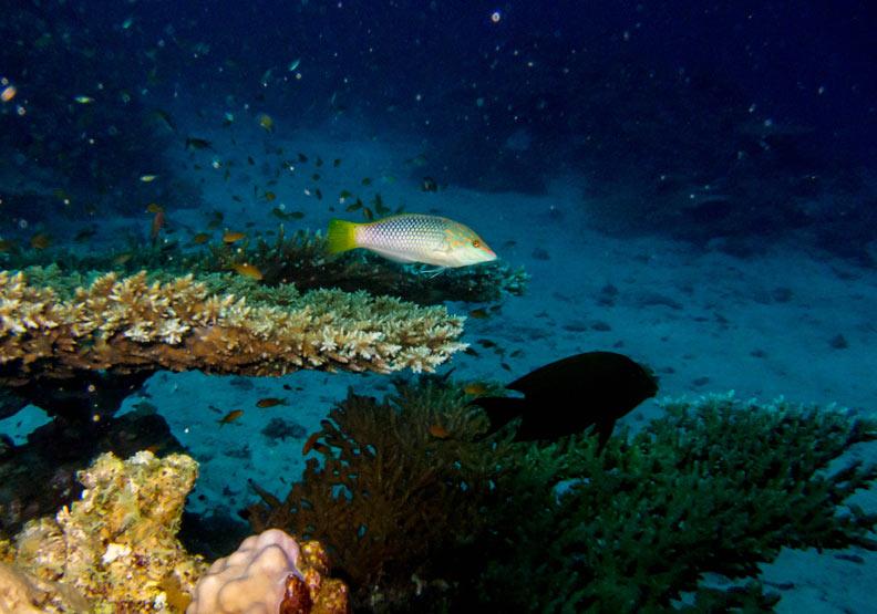 魚類的合作:清潔魚懂得「服務客戶」