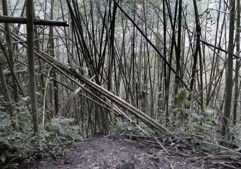 嘉平林道上的大片桂竹林