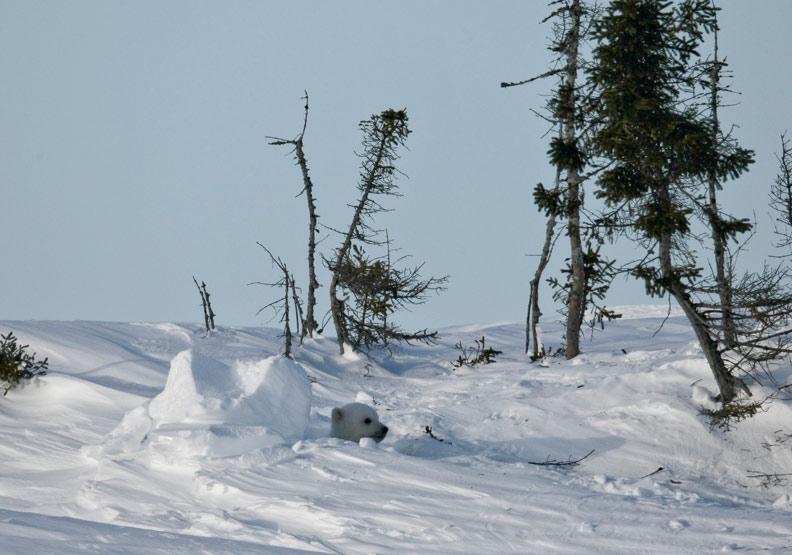 不負眾望 雪地裡冒出北極熊寶寶