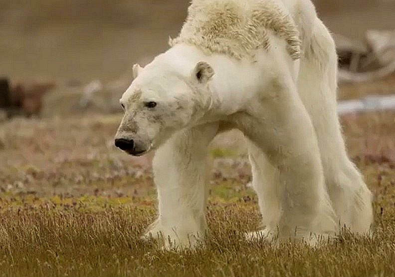 骨瘦如柴的北極熊:揭開人類恣意妄為的殘酷真相