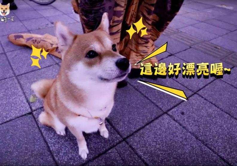 柴犬Nana帶路 新北人氣遛毛寶貝路線