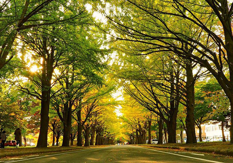 北海道大學 銀杏美到變成觀光景點