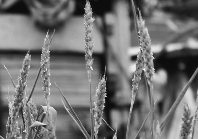 「奇蹟之醬」能存續 靠得是海嘯襲來仍挺住的小麥