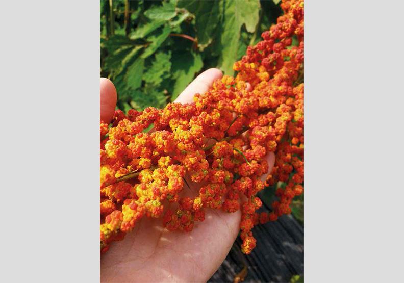 紅藜 穀物紅寶石