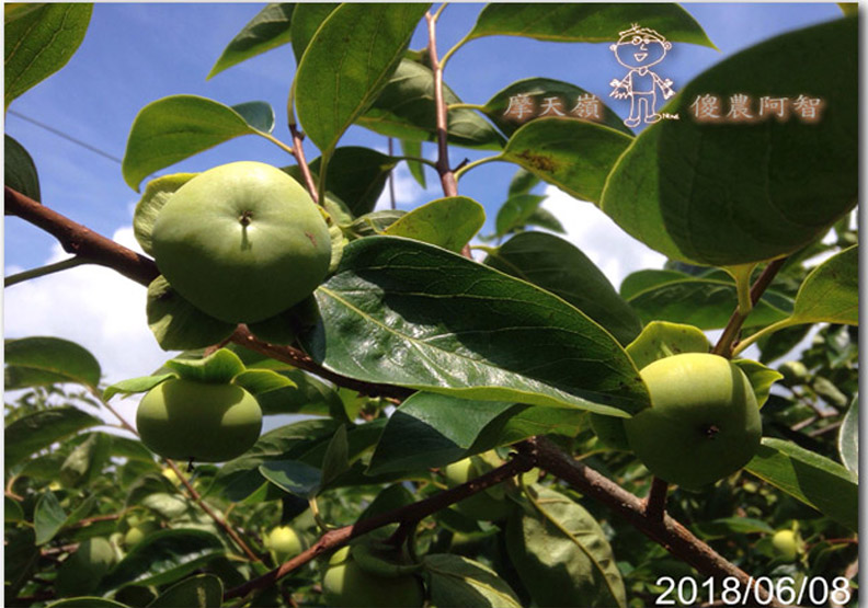 從修剪到疏花,邁向無農藥栽培第八年的開端