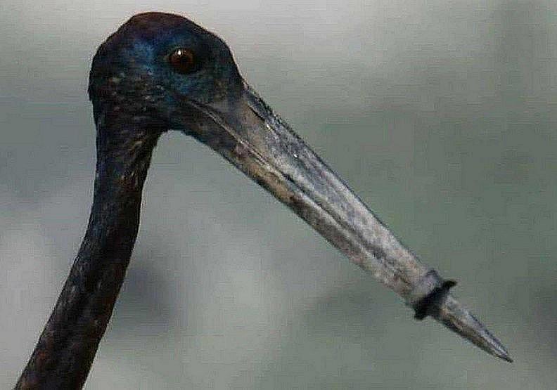 人類對不起你!一張心碎照片揭露長喙鳥的無奈