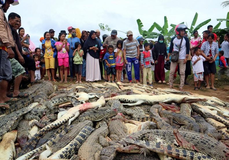 何等的荒謬?一名村民被鱷魚咬死,而他同胞屠殺近300隻鱷魚報復