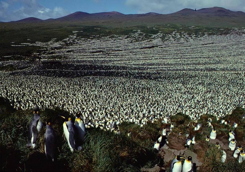 人類傷害還不夠?企鵝島內企鵝消失90%,恐上演北極熊悲劇