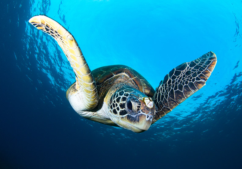 在小琉球當「島人」  七年級情侶靠海龜讓人愛上海