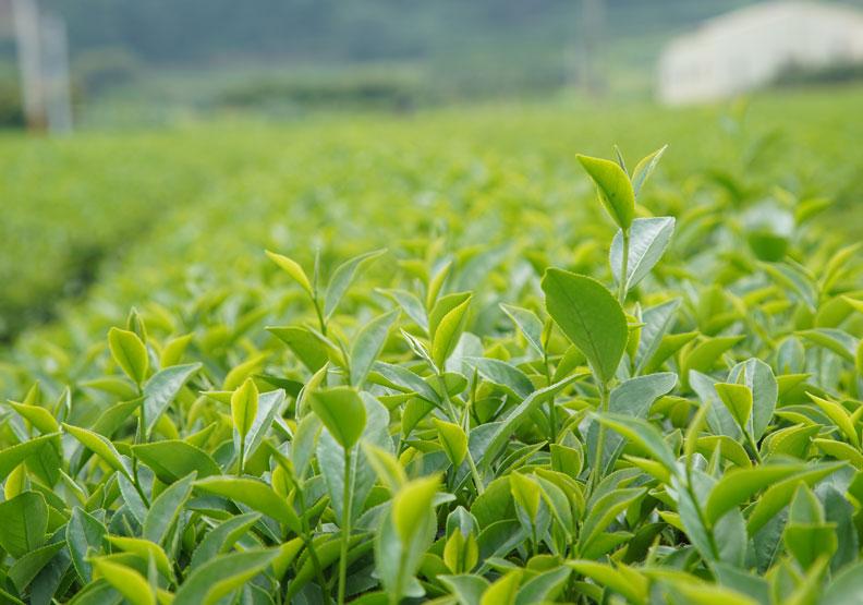 農民按規定栽種茶葉,不會對健康造成傷害;賴永祥攝。