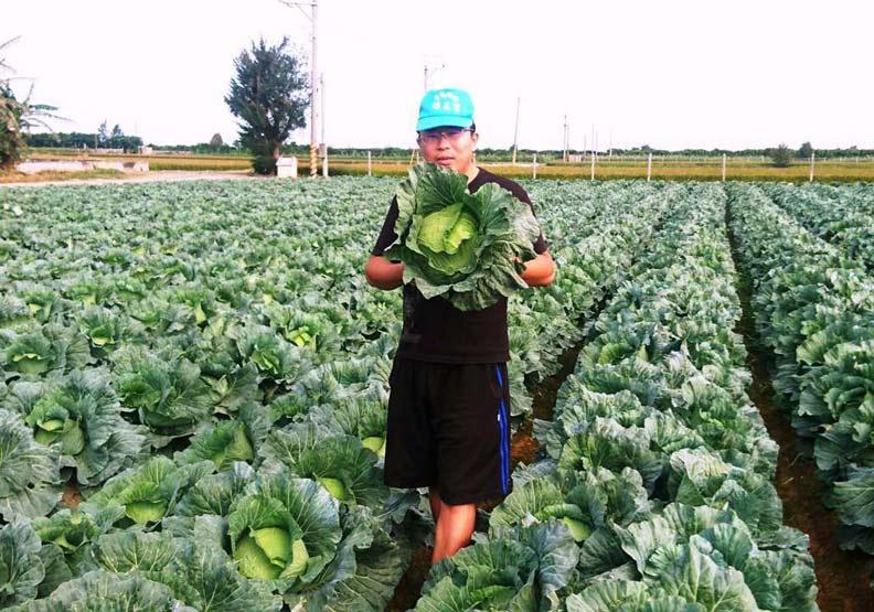 高麗菜長得好卻滯銷,農民寧可一顆10元開放現採