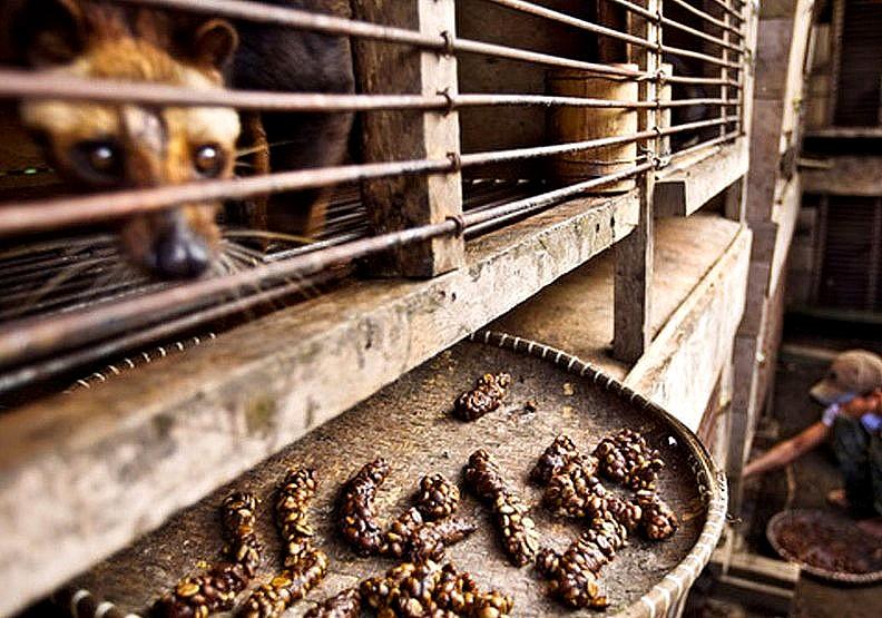 麝香貓咖啡:全球最貴咖啡的黑暗悲歌