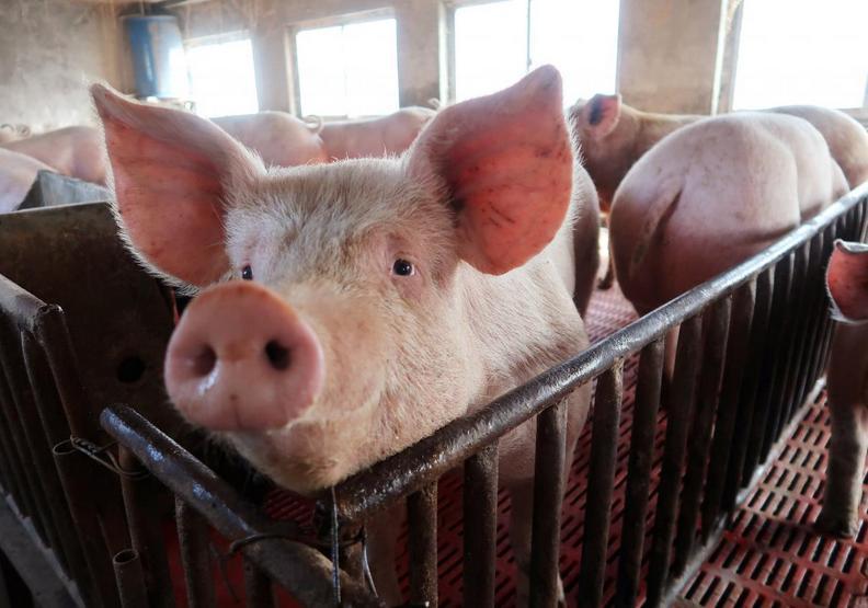 非洲豬瘟是什麼?一場全面防堵的產業災難