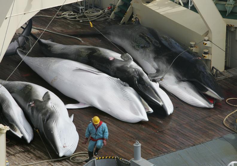宣布退出捕鯨委員會!日本強調要恢復商業狩獵