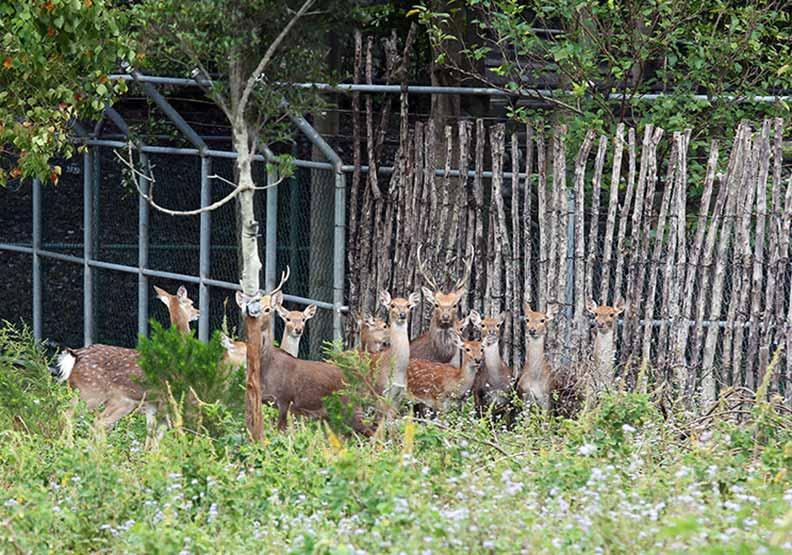 新移民努力「出賣鹿野」 復育梅花鹿成生態亮點