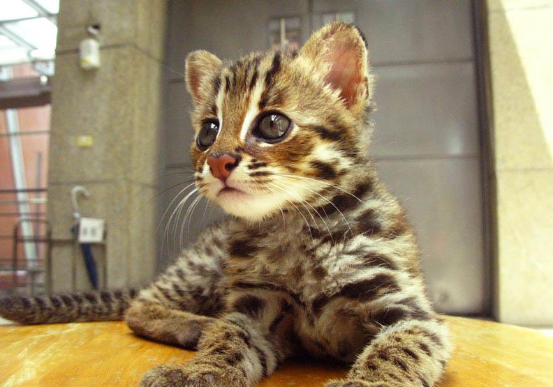 全台僅存500隻!為何愛貓成癡的她變成「石虎媽媽」?