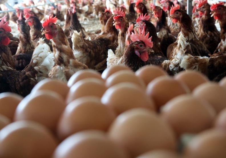 台灣爆發「蛋蛋」危機!農委會說不出口的缺蛋祕密