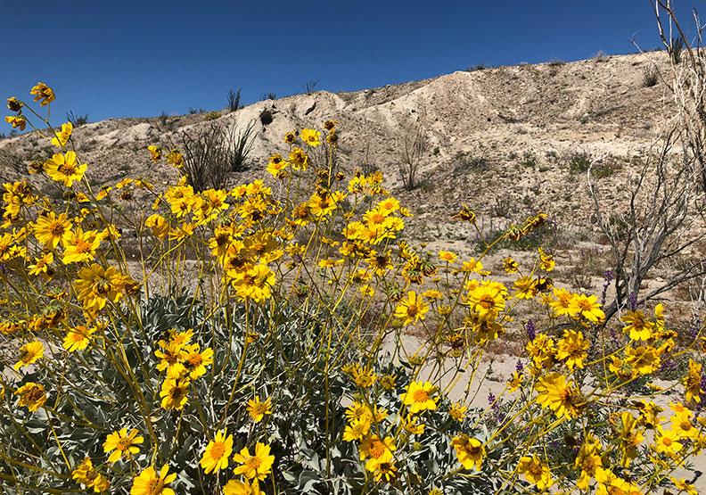 今年春天的意外驚喜!遇上「超級花期」沙漠野花盛開
