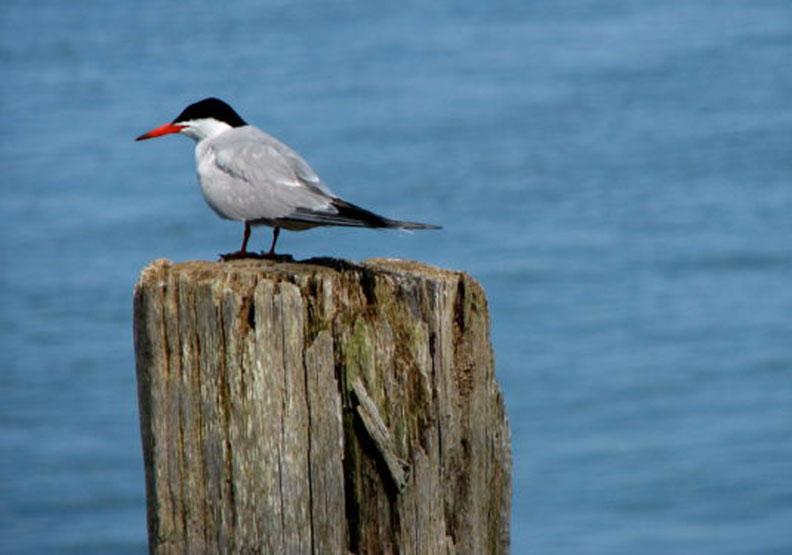 潮汐發電讓鳥兒有魚吃?研究發現燕鷗的「食物輸送帶」