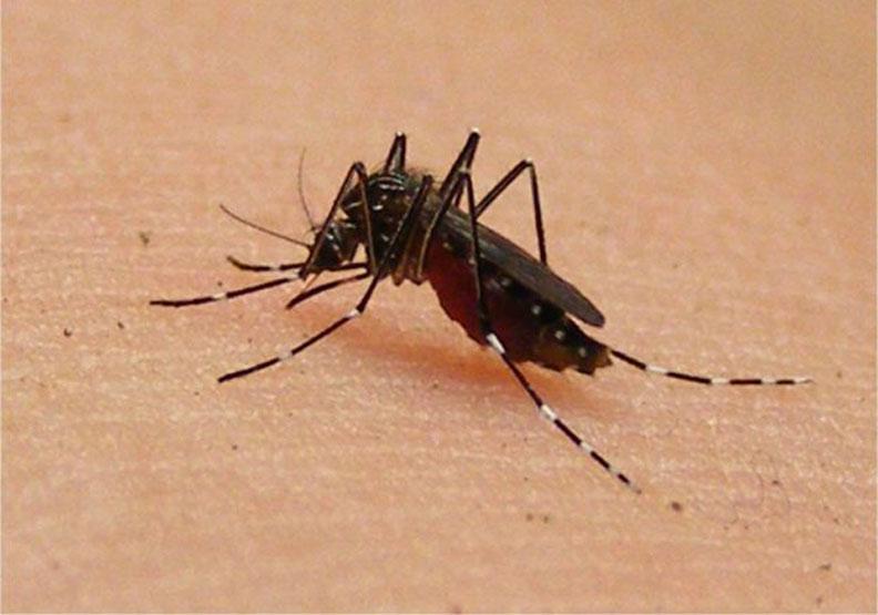 對蚊子的致命吸引力!科學家發現汗水中的關鍵