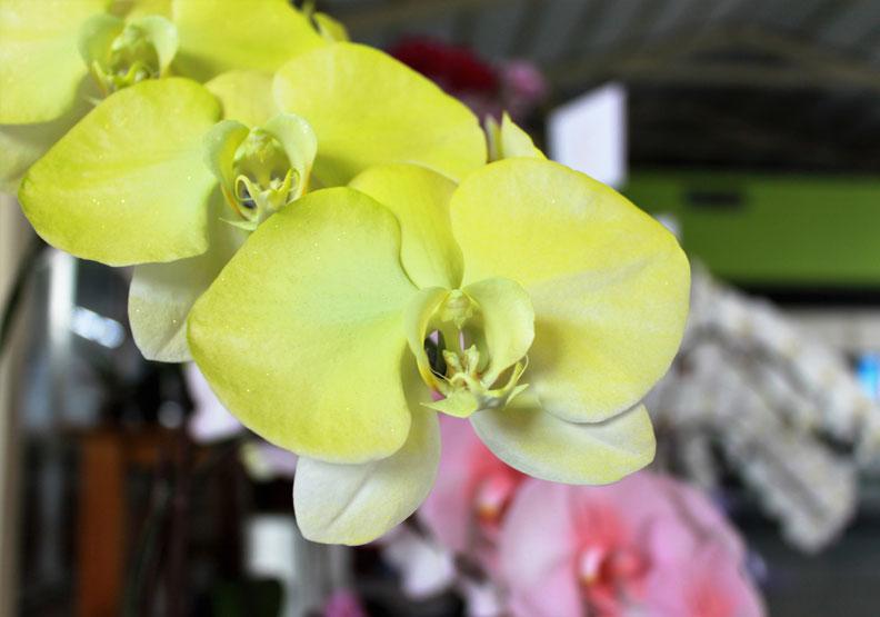 台灣蝴蝶蘭再創外銷奇蹟 竟是日本老齡化幫的忙?