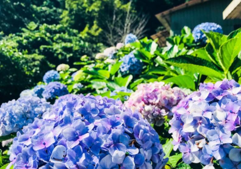 仙氣十足的藍紫色浪漫 苗栗夢幻繡球花季登場