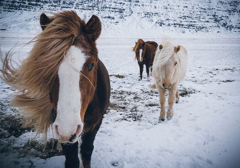 呆萌療癒系的冰島馬有什麼特殊之處,成為冰島人最重要的朋友?