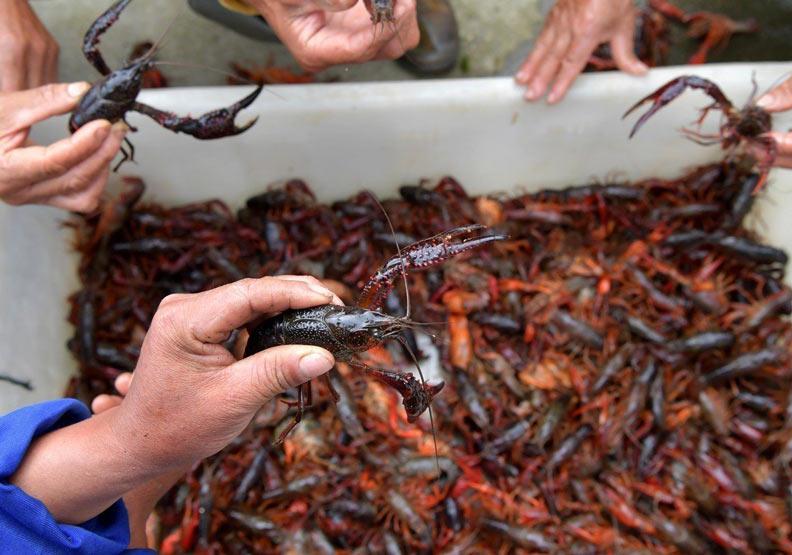 小龍蝦讓各國都頭痛,埃及漁民送到中國「賺了三輛車」