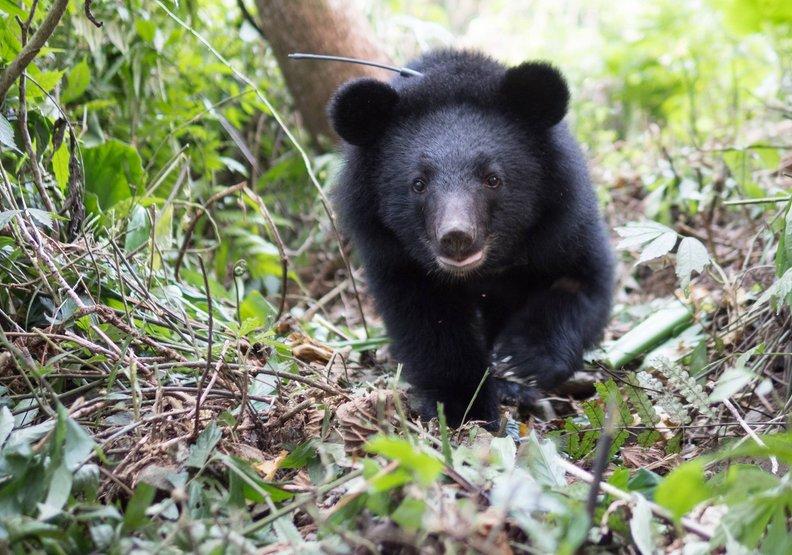 牠比貓熊還珍貴!台灣黑熊全台僅剩數百隻