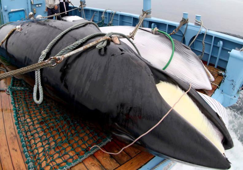 鯨豚最懼怕的夢魘!日本重啟商業捕鯨的悲歌