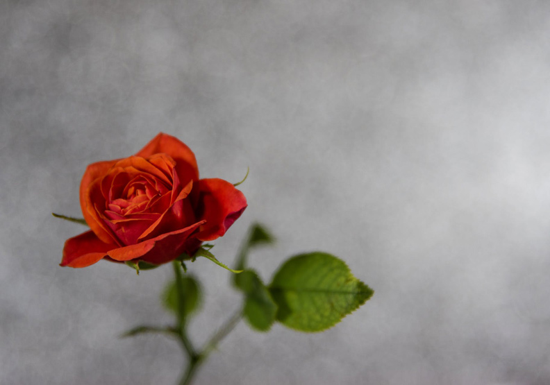 也許每一個男子全都有過這樣的兩個女人,紅玫瑰與白玫瑰。(僅為情境配圖,取自pexels)